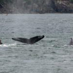 Seehund (links) und Buckelwale