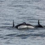 Orcas vor Victoria (BC, Kanada)