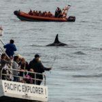 Orca vor Victoria (BC, Kanada)