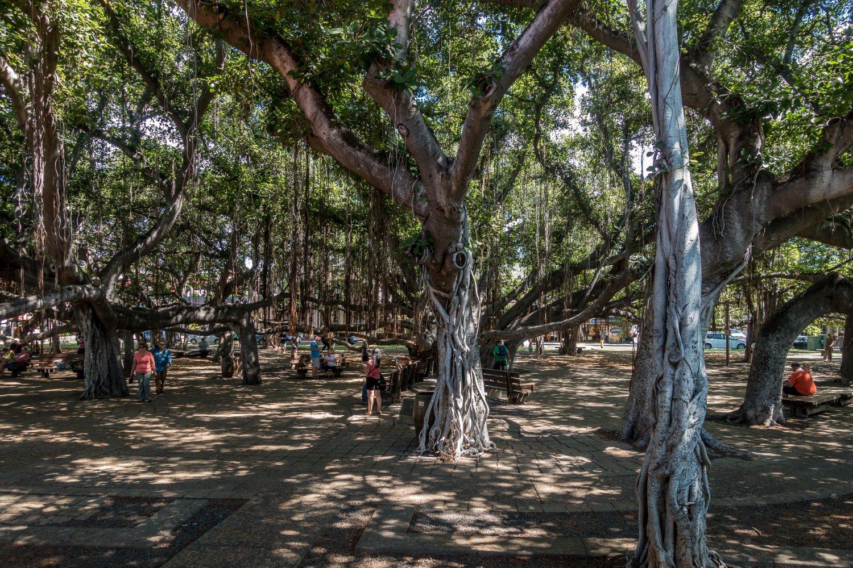 Maui, Lahaina, Banyan Baum