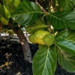 Big Island, Puuhonua o Honaunau National Historical Park, Noni-Frucht
