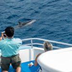Big Island, Delfin in der Kealakekua Bucht