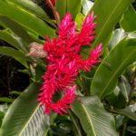 Kauai, im Garten der Fern Grotto