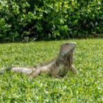 Aruba, Oranjestad: Leguan im Wilhelmina Park