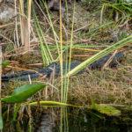 Florida, Everglades: Alligator