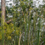 Florida, Everglades: Leguan