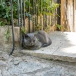 Jerusalem - Katze des russ. orth. Klosters Maria-Magdalena auf dem Ölberg