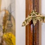 Jerusalem - Oleanderschwärmer im Österreichischen Hospiz