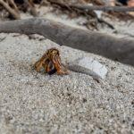 Cayo Iguana - Einsiedlerkrebs