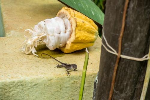 Bei Baracoa - Kakaobaumfrucht und Echse