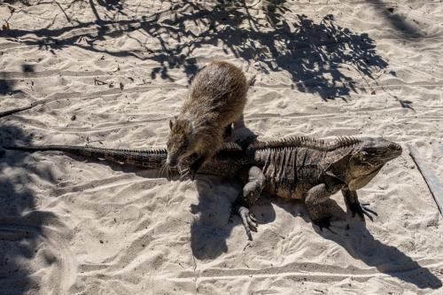 Cayo Iguana - Leguan und Baumratte