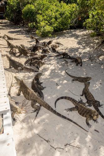Cayo Iguana - Leguane