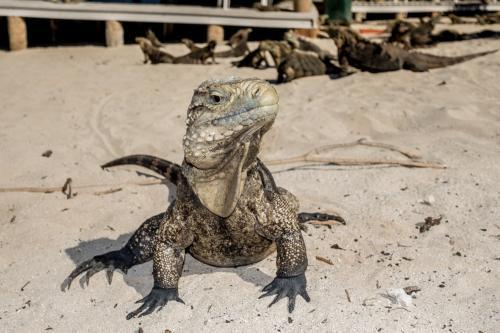 Cayo Iguana - Leguan
