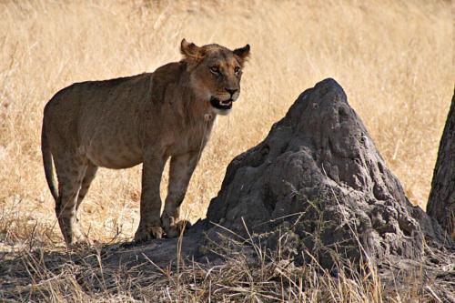botswana2008_animals_34