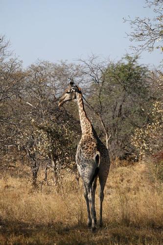 botswana2008_animals_53