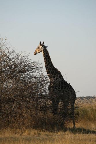 botswana2008_animals_56