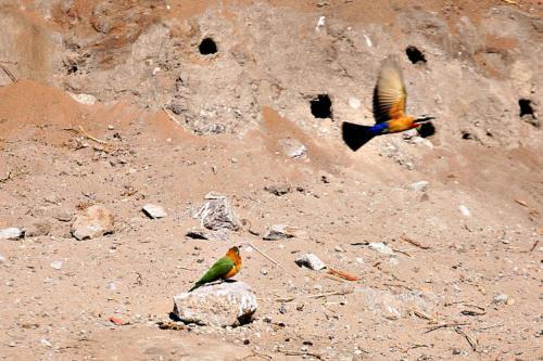 botswana2008_birds_03