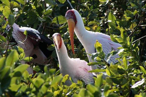 botswana2008_birds_08