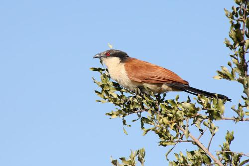 botswana2008_birds_12