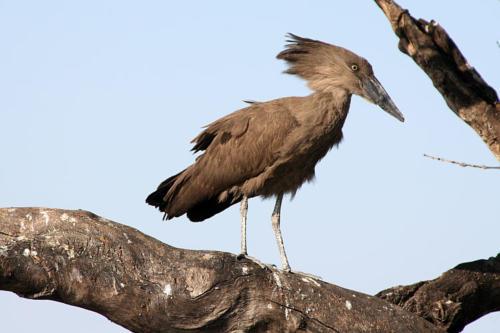 botswana2008_birds_16