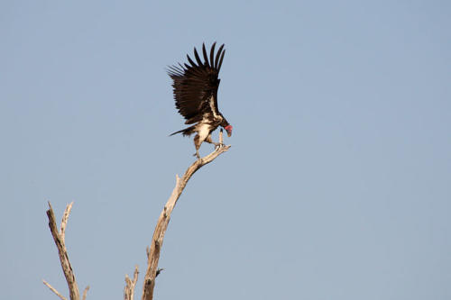 botswana2008_birds_18