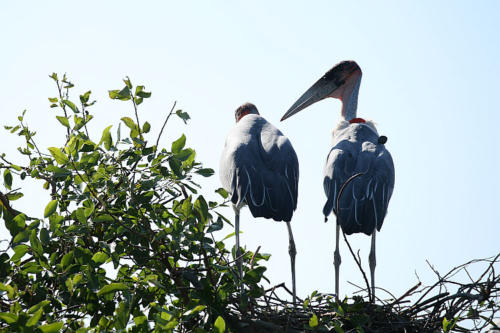 botswana2008_birds_19