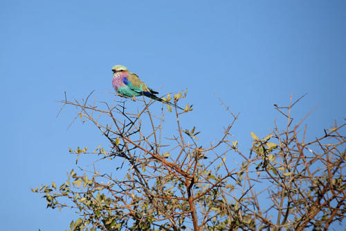 botswana2008_birds_21