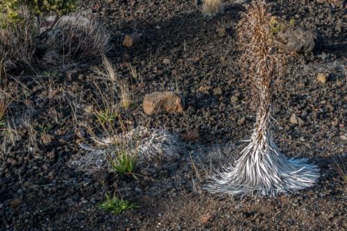 Maui, Silberschwert auf dem Haleakala
