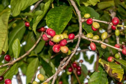 Big Island, Kaffee bei Kona