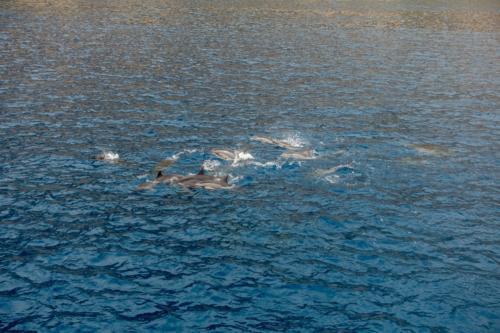 Big Island, Delfine in der Kealakekua Bucht