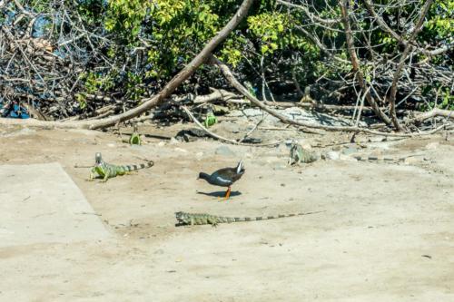 Leguane auf Sint Maarten