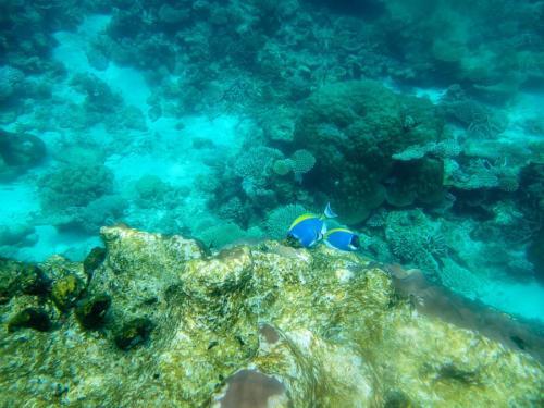Weißkehl-Doktorfische
