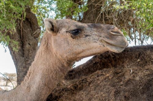 Kamel in Al Wasil