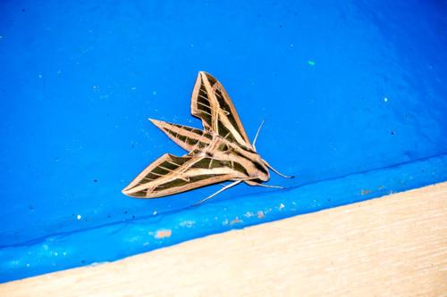 Aruba, Oranjestad: Falter Eumorpha fasciatus